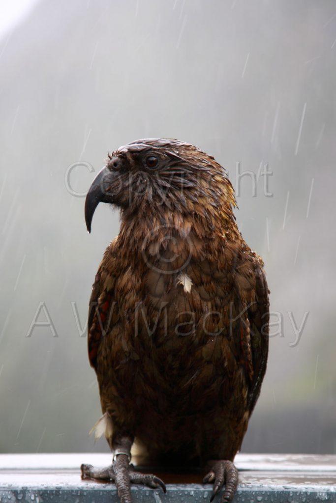 Rainy Day Kea - Nestor Notabilis