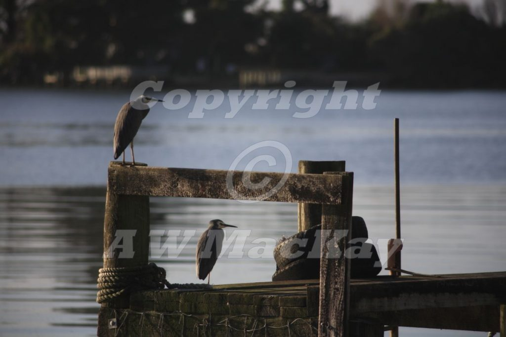 White Faced Heron - Egretta Novaehollandiae