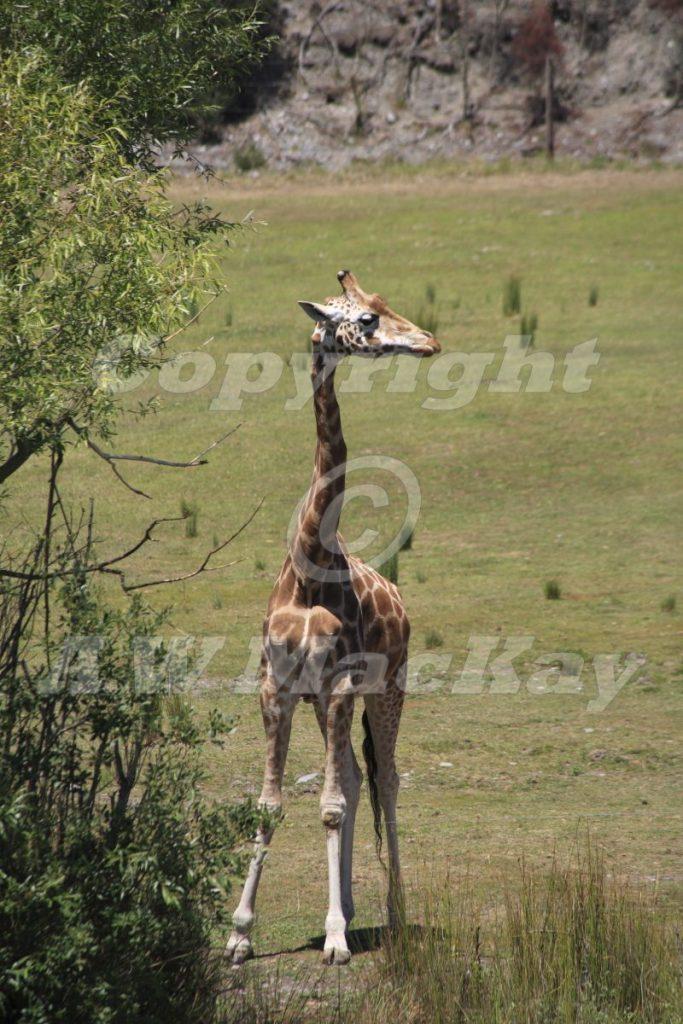 Rothschilds Giraffe I