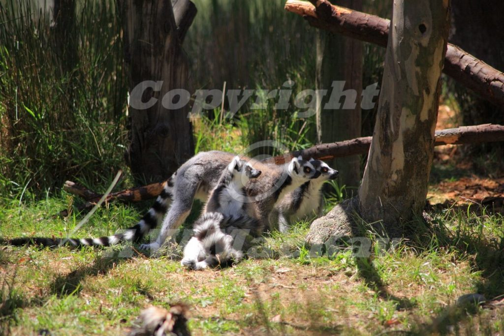 "Ring Tailed Lemurs - ""Who's there?"""