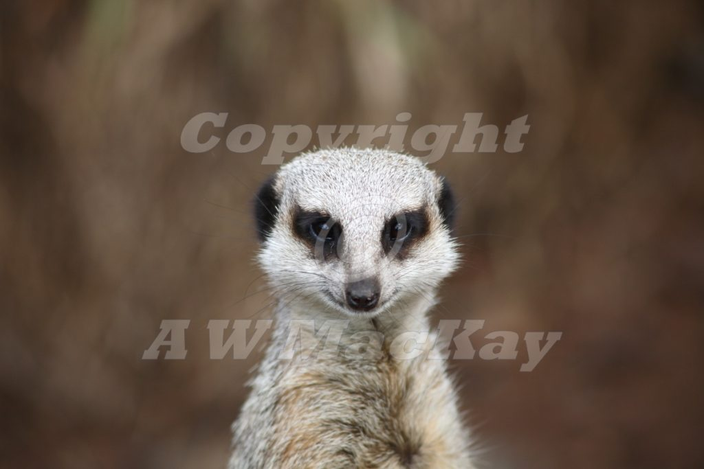 Meerkat Guardian