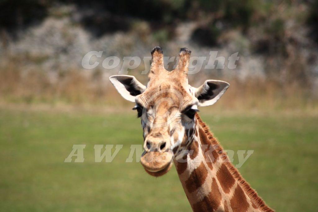 Rothschilds Giraffe III